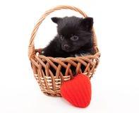 Black german spitz puppy Stock Photography