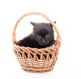 Black german spitz puppy Stock Photo