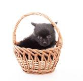 Black german spitz puppy Stock Photo