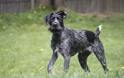 Black German Wirehaired Pointer Drahthaar Royalty Free Stock Photography