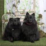 Black germans spitz sitting. In pastoral decoration royalty free stock photos