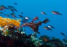 Black Ghost Pipe Fish imitating crinoid, Sogod Bay, Padre Burgos, Leyte, Philippines, Asia Stock Images