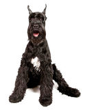 Black Giant Schnauzer Stock Image