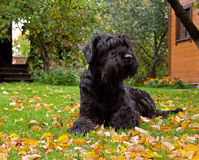 Black giant schnauzer. Portrait of giant schnauzer dog (riesenschnauzer) lying on the green grass covered by yellow autumn foliage (leaves royalty free stock images