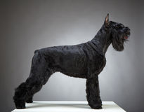Black Giant Schnauzer dog Stock Photos