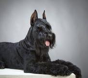 Black Giant Schnauzer dog Royalty Free Stock Photography