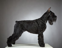 Black Giant Schnauzer dog Stock Photography