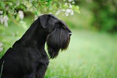 Black giant schnauzer dog Royalty Free Stock Image