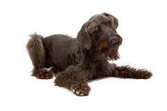 Black Giant Schnauzer Dog Laying Down Stock Image
