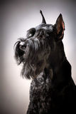 Black Giant Schnauzer dog Stock Images