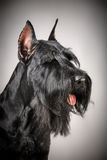 Black Giant Schnauzer dog Royalty Free Stock Photography