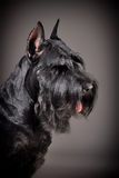 Black Giant Schnauzer dog Royalty Free Stock Photos