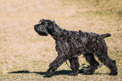 Black Giant Schnauzer or Riesenschnauzer dog Royalty Free Stock Photography