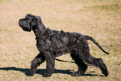 Black Giant Schnauzer or Riesenschnauzer dog outdoor. Stock Photography