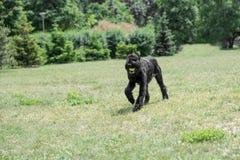 Black Giant Schnauzer or Riesenschnauzer dog outdoor. Riesenschnauzer dog running on the grass Royalty Free Stock Image