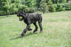 Black Giant Schnauzer or Riesenschnauzer dog outdoor. Riesenschnauzer dog running on the grass Stock Photos