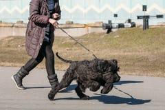 Black Giant Schnauzer Or Riesenschnauzer Dog Runs Outdoor Royalty Free Stock Photography