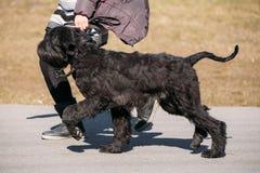 Black Giant Schnauzer Or Riesenschnauzer Dog Runs Outdoor Royalty Free Stock Image
