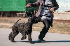 Black Giant Schnauzer Or Riesenschnauzer Dog Runs Outdoor Stock Images