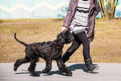Black Giant Schnauzer Or Riesenschnauzer Dog Runs Outdoor Stock Image
