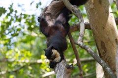 Free Black Giant Squirrel Ratufa Bicolor Stock Photography - 82179942