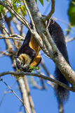 Black giant squirrel(Ratufa bicolor). Eating in nature Royalty Free Stock Photography