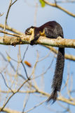 Black giant squirrel(Ratufa bicolor). Sleeping on the tree in nature at Khaoyai national park,Thailand Royalty Free Stock Photos