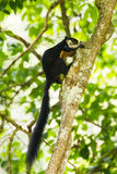 Black giant squirrel Royalty Free Stock Image