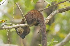 Black Giant Squirrel in a Tree Stock Images