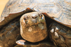 Black Giant Tortoise Stock Photography