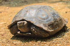 Black Giant Tortoise Royalty Free Stock Images