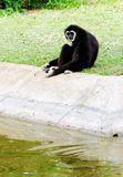 Black gibbon Royalty Free Stock Photo