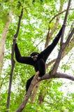 Black gibbon climbing tree Royalty Free Stock Photos