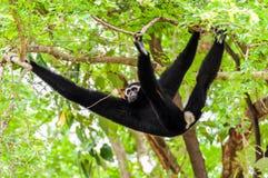Black gibbon climbing tree Royalty Free Stock Images