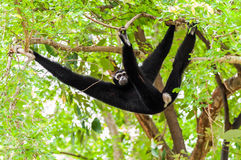 Black gibbon climbing tree Stock Images