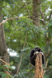 Black gibbon. In the forest Royalty Free Stock Image