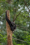 Black gibbon. In the forest Stock Image