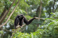 Black gibbon. In the forest Stock Photos