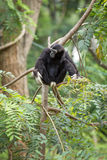 Black gibbon. In the forest Stock Photo