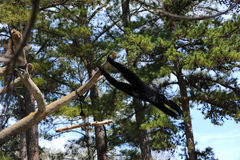 Black Gibbon Royalty Free Stock Images