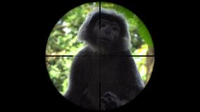Black gibbon monkey seen in gun rifle scope. Wildlife hunting. Poaching endangered, vulnerable, and threatened animals. Shot with a Sony a6300 fps 29,97 4k stock footage