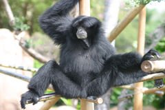 Black Gibbon Monkey in a Zoo. A Black Gibbon Hanging Out at the Honolulu Zoo in Hawaii Stock Photography