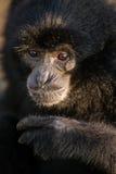 Black Gibbon named Botti portrait, Bukkitingi, Sumatra Stock Photos