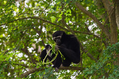 Black gibbon on a tree Royalty Free Stock Photography