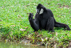 Black gibbons. The black gibbons drinking water with hand Royalty Free Stock Images