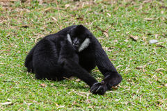 Black gibbons fighting Royalty Free Stock Photography