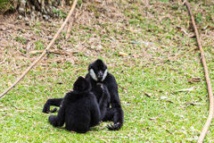 Black gibbons fighting Stock Photos