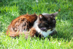 A black and ginger stray cat resting in public park.  Stock Image
