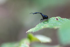 Black Giraffe weevil in Madagascar. Black male giraffe weevil in its natural habitat, the rainforst of Madagascar. Endemic to Madagascar. Males have a longer stock photo