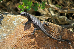 Black Girdle-tailed Lizard Royalty Free Stock Photography